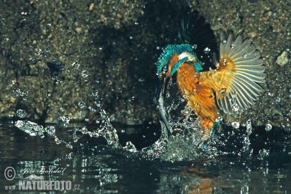 Kuningaskalastaja - Kingfisher (Alcedo atthis) photo by Jiri Bohdal
