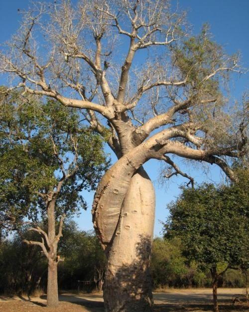 A Baobab tree hugs itself!