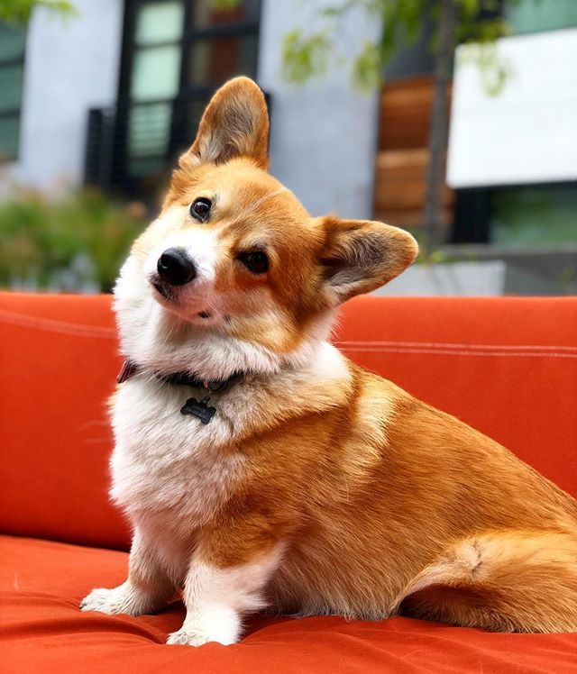 And Today S Special Orange Chair Guest Needs No Introduction Everyonecorg Corgisofinstagram Corgisofsanfrancisco Corgi Corgi Nation Orange Chair