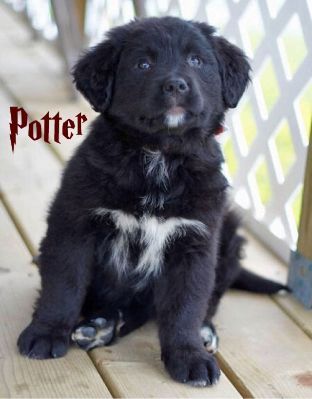 Pin By Crystal Fraley On Animals Lab Mix Puppies Golden Retriever Labrador Retriever Puppies