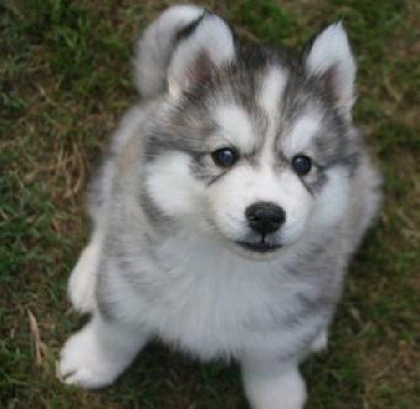 siberian huskey puppy I want one! Ok not really but he is super cute.