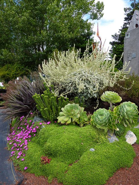 Sideritis oroteneriffae & Aeoniums.  Ground covers are Delosperma lavisiae ( flowering)  & D. nubigenum  ( green matting)