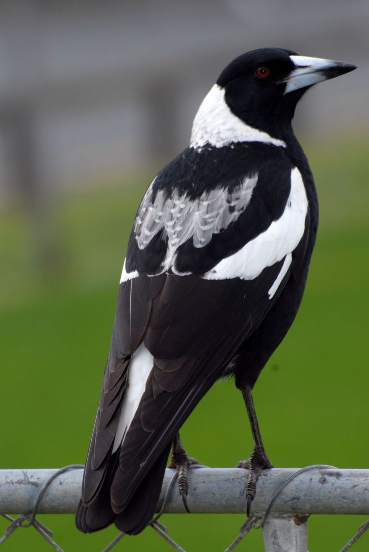 Australian magpie. Adult black-backed magpie - Google Search