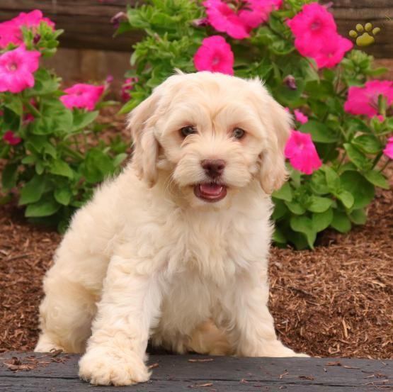 Riley Cockapoo Puppy For Sale In Gordonville Pa Lancaster
