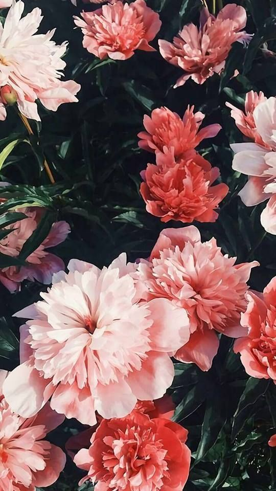 Natur Iphone Wallpaper Ideen: Natur Wallpaper iPhone Blumen – stahlrosa