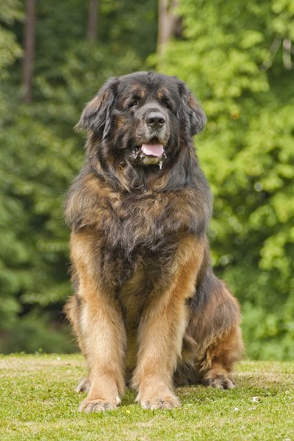 Leonberger dog, intelligent, affectionate, good with children, more active than most giant breed dogs
