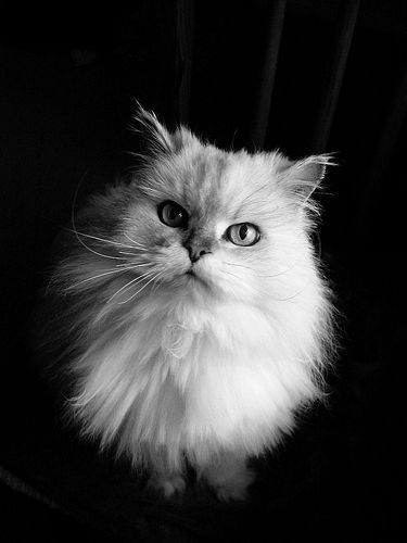 Traditional (Doll-Faced) Persian Cat.....awwww looks just like my Gizmo... So beautiful these cats are.