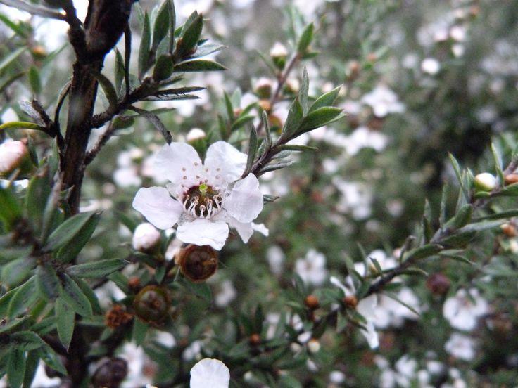 Manuka Honey Tree