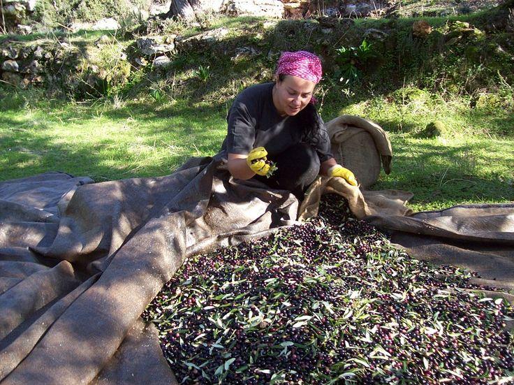 Join the olive harvest in Mani. http://www.handpickedgreece.com/join-the-olive-harvest-in-mani/#sthash.yaHSnoDJ.qjtu