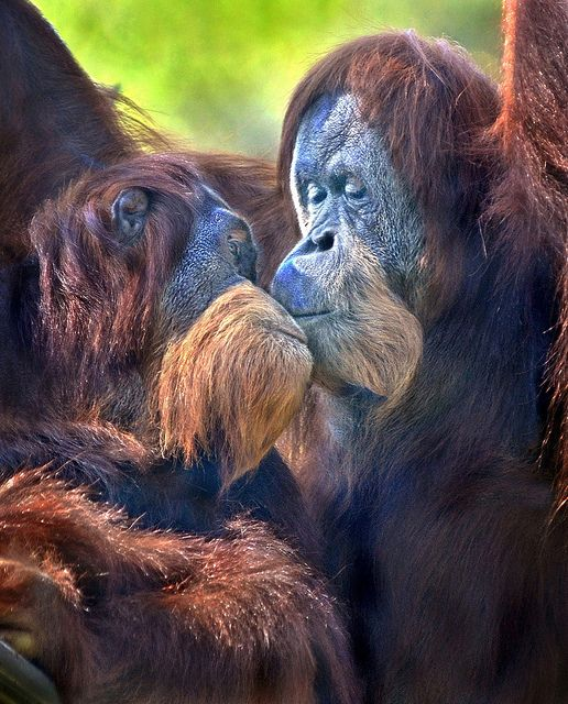 Kissy kiss  - After posting a disturbing photo of a snake swallowing a cute little  rat, I thought Id return with some warm and fuzzies to wash away the  unpleasant image. So heres a shot of two orangutans sharing a tender  moment at the San Diego Zoo.