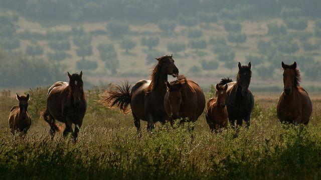 Maremmano horses in the Parco Regionale della Maremma by Steve Walesch, via Flickr
