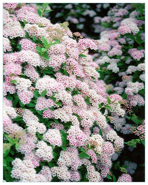 Tawuła japońska Little Princess - P9 [#6600] | ŚWIATCEBUL.pl \ Tawułki ŚWIATCEBUL.pl \ Krzewy ozdobne | Świat Cebul.pl... tu zaczyna się Twój ogród. Cebulki kwiatowe, bulwy i kłącza.