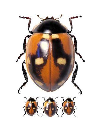 Cycloneda sp. (Ladybug)