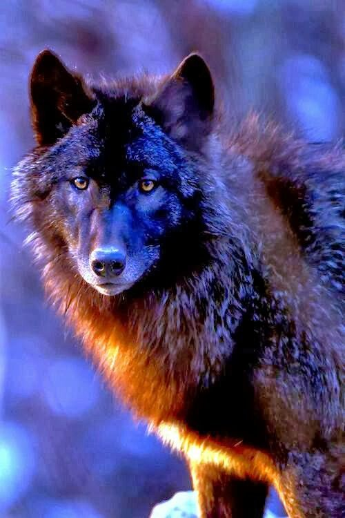 The wolf is - and always will be - a wild animal . So how did the popular myth originate of a domesticated wolf as man's best friend ? Man does not shoot and poison his best friend . Acknowledgement and thanks to the person who pinned this beautiful image .
