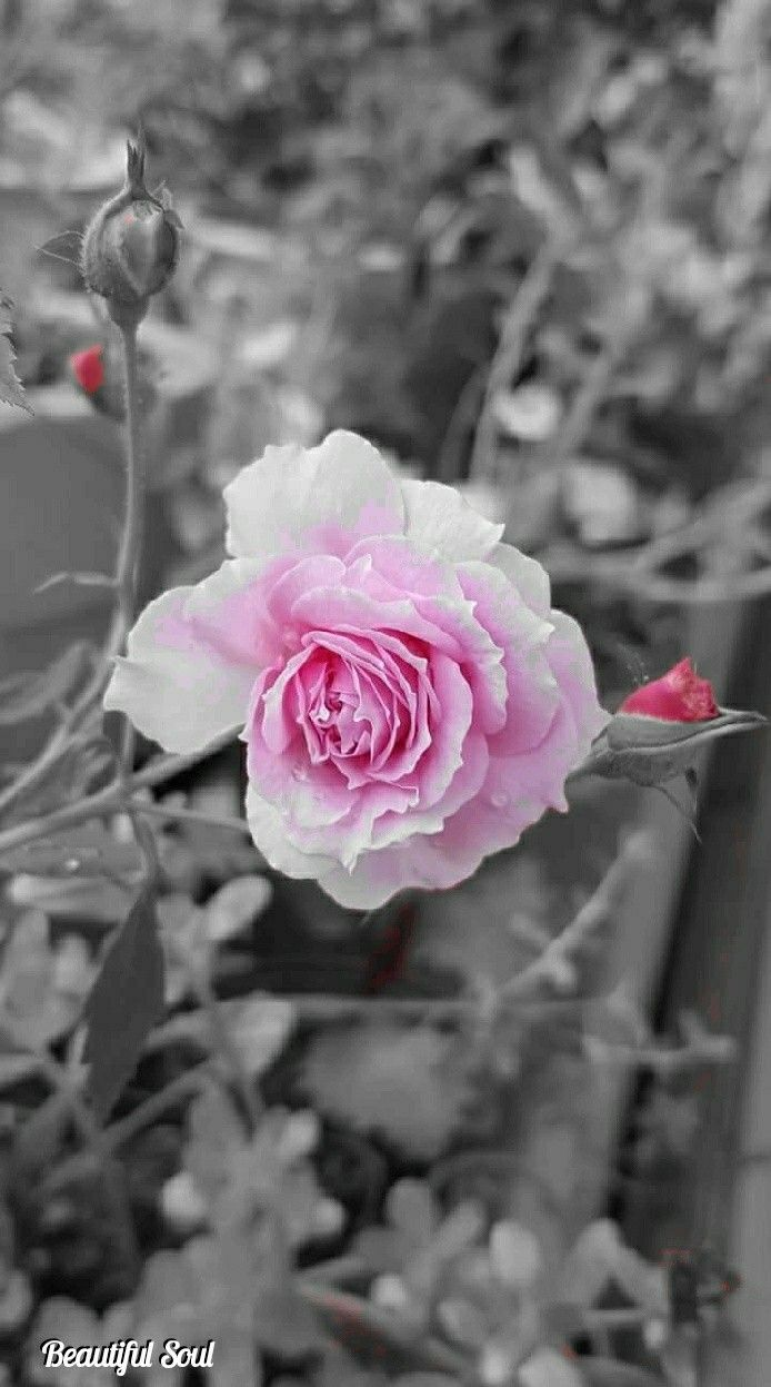 True Love With Images Color Splash Pink Rose Wallpaper