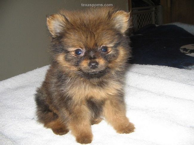 pomeranian puppies for sale in texas | Zoe Fans Blog