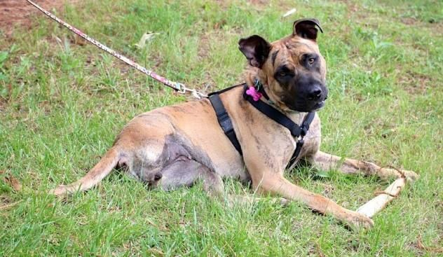 Zara, an adoptable Boxer mix at Middleburg Humane Society, Virginia • She's a sweet, athletic tripod who has been waiting for her forever home for over a year. Awesome dog!