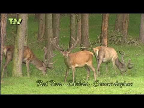 Wild Peers: Red Deer - Cervus Elaphus - YouTube