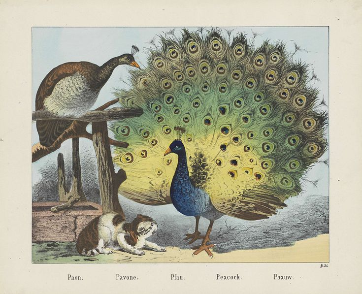 Paon. / Pavone. / Pfau. / Peacock. / Paauw, firma Jos. Scholz, Anonymous, 1829 - 1880