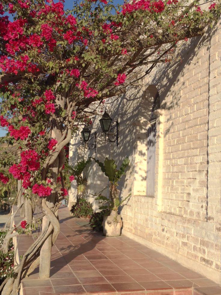 Xeriscape garden. Bougainvillea trellis.