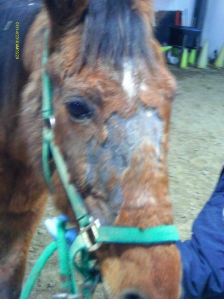 17 Best images about Horse Rain Rot