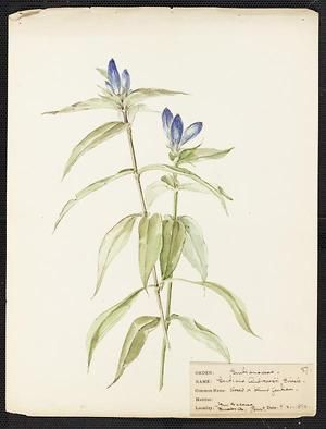 From the collection at Andersen Horticultural Library. Agnes Williams (1860-1946), a watercolorist from Bucks Co., PA, created a wildflower portfolio during the 1880s and 1890s. Emma painted Gentiana Andrewsii (Blind Gentian) in New Galena, PA. It is dated September 21, 1894.