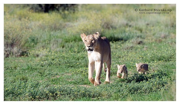 Lioness & Cubs, Rooiputs, Kgalagadi Transfrontier Park, South Africa