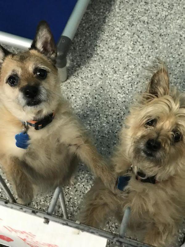 Adopt Caramello On Terrier Mix Cairn Terrier Mix Cairn Terrier