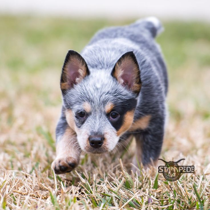 australian cattle dog blue heeler puppy dogs blue. Black Bedroom Furniture Sets. Home Design Ideas