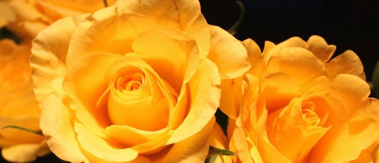 The Yellow Rose of Zonta International, this was introduced at the 1984 Sydney Convention.Harkness Roses (UK) developed the rose and an Australian Zontian Marion Ross enabled the presentation of the rose. It serves as a symbol of Zonta Rose day on the 8th March and known as a symbol of friendship.