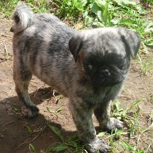 Cute Brindle Pug Puppy! Makes me hanker for furry pug child number four!