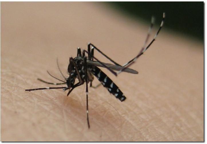 Los Mosquitos: ¿Cuanto Viven?, ¿Que Repelente Funciona?, ¿Por Que Da Comezón Su Picadura? y Otras Incógnitas - http://wow.mx/2015/08/30/los-mosquitos-cuanto-viven-que-repelente-funciona-por-que-da-comezon-su-picadura-y-otras-incognitas/ - Mientras escucho un programa de radio, navego portales de noticias, presto atención a ver si la lavadora ya se detuvo y además estoy preparándome a dormir --Que pasa volando frente a mi un mosquito!!-- me levanto, trato de ubicarlo p
