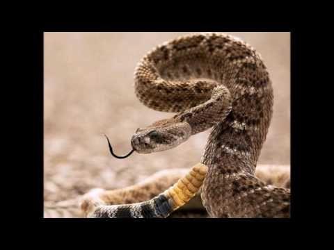 Звук гремучей змеи, The sound of a rattlesnake, 響尾蛇的聲音, एक नाग की आवाज,