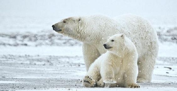 Cercasi guardiano di orsi polari su isola norvegese