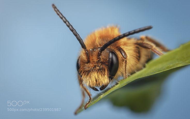 Tawny Mining Bee by antonycooperba