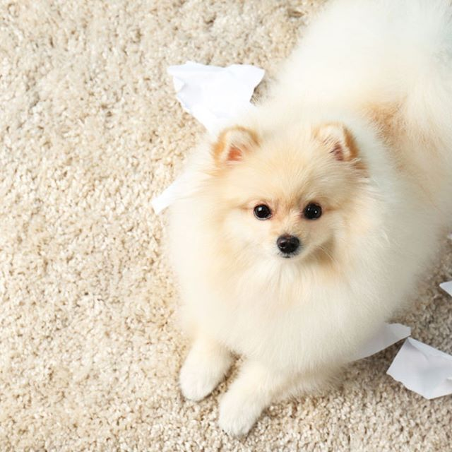 Pomeranian spitz dog with torn paper on carpet  Posted by : @friendlypomeranian  Follow me to see more nice picture   Thank you so much ☝️☝️ Tag someone who you'd want to share this photo with Beautiful   All about Pomeranian Dogs for dog lovers.  @friendlypomeranian   ⤵ Double tap & tag your friend Love it   ❤❤❤  ❤❤❤  ❤❤❤  #Pom #baby #pomeranianspitz #pomstagram #pomeranianlife #pomeranianlovers #puppy #puppylove #puppydog #dogs #dog #dogdaily #puppyplaytime #pomeranianlov