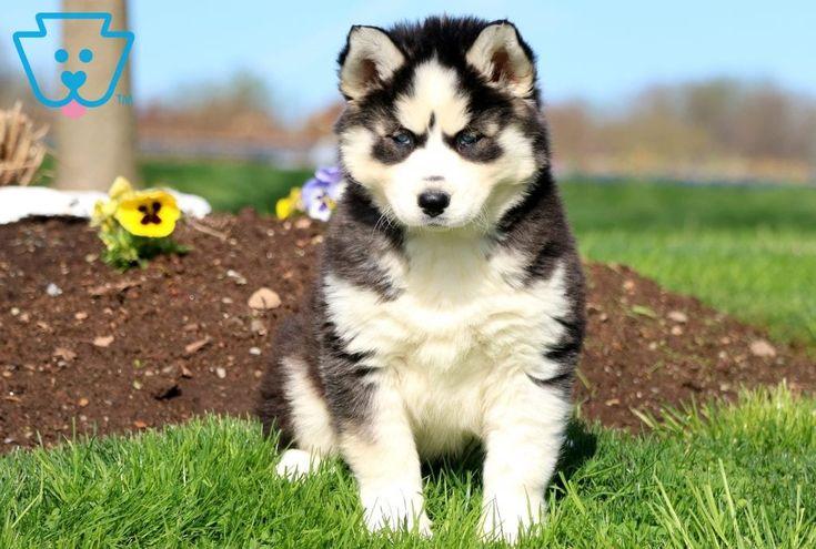 Heidi   – Siberian Husky Puppies