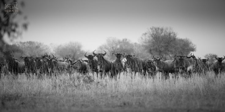 The wildebeest migration is rated as one of the world's most incredible wildlife spectacles and a phenomenon that should…
