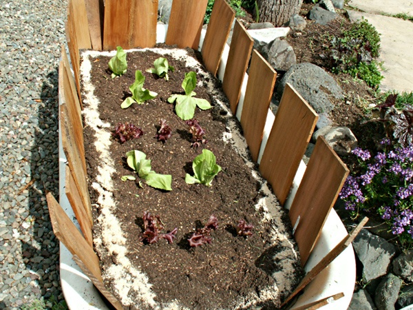 Old bath tub planted with lettuce
