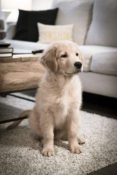 Beautiful Golden Retriever puppy.