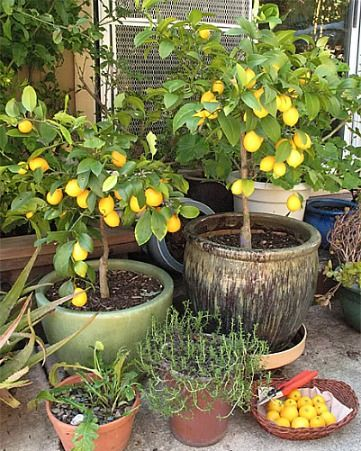 Best 25+ Dwarf Fruit Trees Ideas On Pinterest | Buy Fruit Trees, Patio  Fruit Trees And Gardening