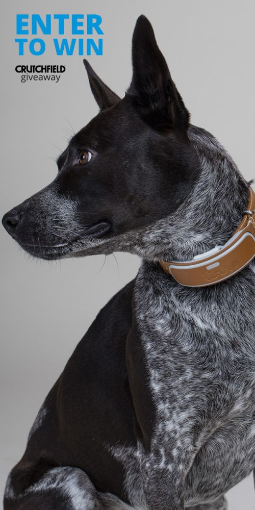 Enter to win 1 of 5 Link AKC smart dog collars Crutchfield is giving away