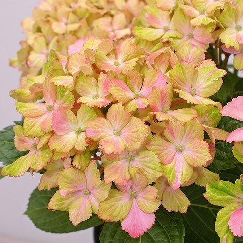 Hydrangea Forever & Ever Fantasia - Shrubs | Spring Hill Nurseries