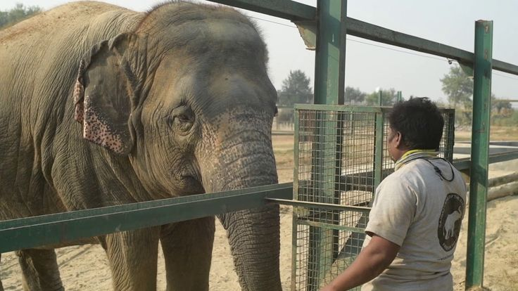 After decades of suffering alone, we are helping Priyanka bond with other rescued elephants at the #ElephantConservationandCareCenter and we made an attempt to help her befriend our lovely dumpling, Laxmi! Since the team was concerned about their reactions to each other, the interaction between Priyanka and Laxmi was conducted with safety precautions & closely monitored.