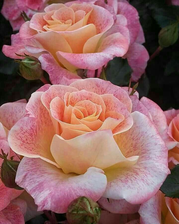 285 best Roses images on Pinterest   Beautiful flowers, Pretty ...