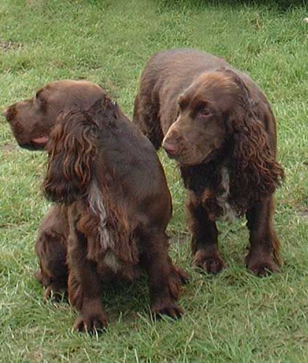 field spaniels field spaniel these dogs are one of the most docile ...