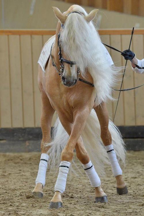Gorgeous horse doing dressage