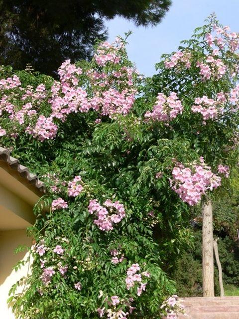 Bigninia Podranea ricasoliana - Pink Trumpet vine