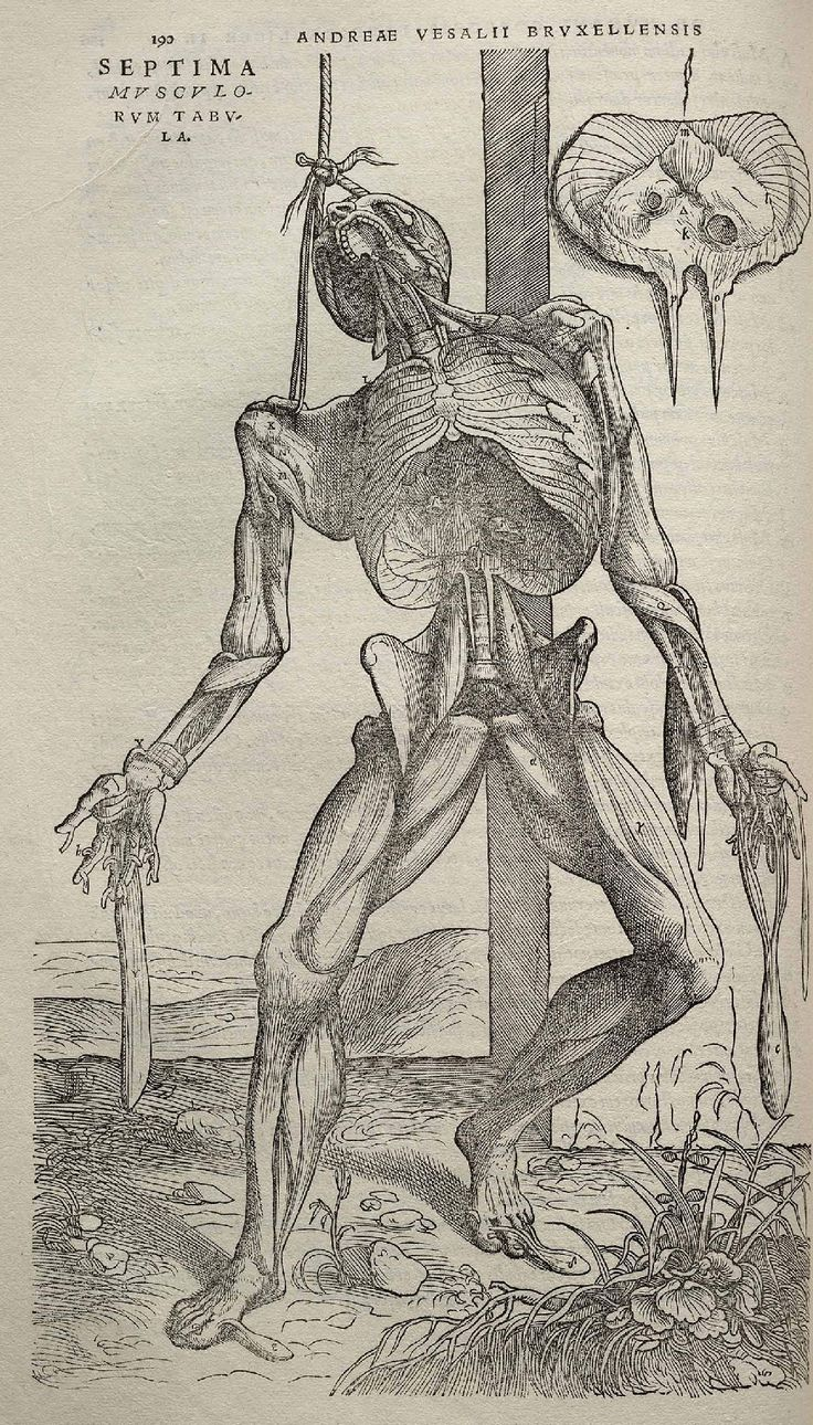 An illustration by Stephan van Calcar in Vesalius's De Humani Corpus Fabrica [http://en.wikipedia.org/wiki/De_humani_corporis_fabrica]. Vesalius grew up near Gallows Hill, an area where criminals were executed and left to rot. As a child, he would look at bodily structures and take bones apart. In his book,published in 1543, offered the first accurate information of human anatomy and began to expose the long-standing mistakes in Galen's work. It was the first book of its kind as well!