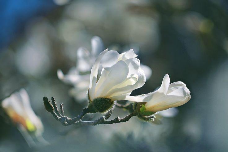 499 mejores im genes de magnolia en pinterest magnolias - Semilla de magnolia ...